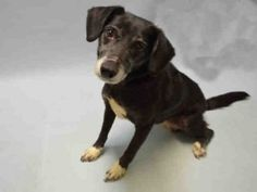 Brooklyn Center JETTA – A1060044  SPAYED FEMALE, BLACK / WHITE, BEAGLE / LABRADOR RETR, 7 yrs  OWNER SUR – EVALUATE, NO HOLD Reason NEW BABY  Intake condition UNSPECIFIE Intake Date12/09/2015, From NY 11207, DueOut Date12/09/2015  Urgent Pets on Death Row, Inc