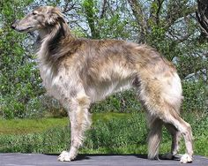 The Silken Windhound is a rare American breed of dog, of the sighthound family. It was created by Francie Stull, a successful breeder of top show and performance American Kennel Club (AKC) Borzoi and Deerhound who utilized her decades of experience with AKC hounds in the formation of this breed, combining the best aspects of some of the top performance Borzoi and Whippet bloodlines in the Americas. The first Silken Windhound litter was whelped in 1987 and the breed club was formed in 1999.