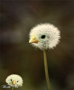 Great. Now every time I blow a dandelion I'm going to envision blowing off a chick's head..