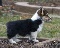 Wow!! Beautiful Corgi puppy