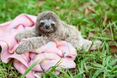 PHOTOS: Paralyzed baby sloth thrives in Manuel Antonio rescue center – The Tico Times Baby Sloth Pictures, Pictures Of Sloths, Animal Pictures, Happy Animals, Zoo Animals, Cute Baby Animals, Animal Babies, Funny Animals, Animal Kingdom