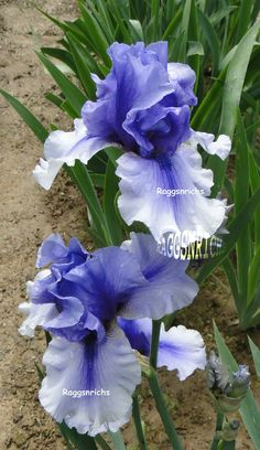 """Tall Bearded """"ELECTRIC SHOCK"""" Iris - BLUE WASHED & DIAMOND DUSTED '96"""