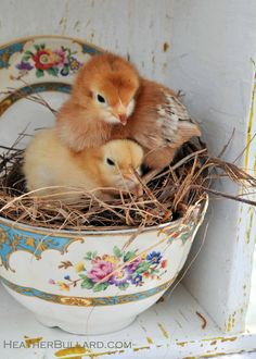 """sweet.  Have to post my picture of our own """"chicken-in-a-basket"""" when our little speckled hen had her nest in our garden cart on the back porch."""