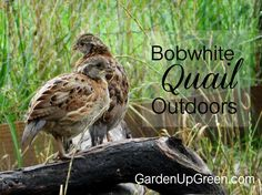 Moving Bobwhite Quail Outdoors You can raise healthy Bobwhite Quail Outdoors for the purpose of eggs Chicken Coop Blueprints, Chicken Coop Plans, Building A Chicken Coop, Diy Chicken Coop, Chicken Tractors, Portable Chicken Coop, Backyard Chicken Coops, Chickens Backyard, Backyard Ideas
