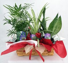 "Parlor Palm, Spider Plant, Snake Plant in Valentine Wicker Basket -10"""" x 4"""" x 3"""""
