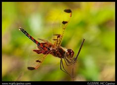 Categories: Insect Photography, Dragonfly Photography, Odonata Photography - CalArti