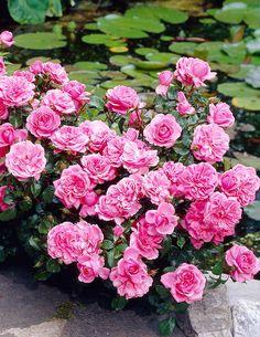 Linnaruusu Berleburg - Viherpeukalot Large Flowers, Pastel Colors, Beautiful Pictures, Floral Wreath, Wreaths, Garden, Plants, Cottage, Rose Trees