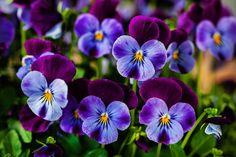 Choir of Violets  #flowerart #violets #canon #snapseed #viola #orvokit #orvokkienaika #kesätulee #kukkataidetta #kukkakuva #beautifulcolours #violetti #colourtherapy #smalljoysoflife #flowerlove #floralart Snapseed, Canon, Plants, Instagram, Cannon, Flora, Plant