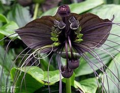 """Black bat flower (Tacca chantrieri) this unusual plant is one of the only plants in the world to have black flowers. The big flowers (up to 12 inches across) have even longer """"whiskers"""", giving it its colloquial name. It is native to the tropical regions of Southeast Asia."""