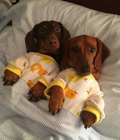 Dachshund clothes are difficult to find. As you may already know, the dachshund breed has a very odd body. Find Dachshund clothes that actually fit. Dachshund Puppies, Weenie Dogs, Dachshund Love, Cute Dogs And Puppies, Baby Dogs, I Love Dogs, Daschund, Doggies, Hotdog Dog