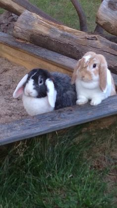 Our Mini Lops in the yard