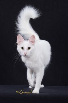 The Turkish Angora is believed to be the origin of long hair and white coloration. (The dominant white gene is in truth the absence of color.)