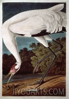 audubon painting - Google Search