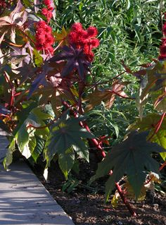 Ricinus communis- Castor bean -annual- Height 6-10 feet; Blooms June to October; Full sun; Water; dry to medium.  Ricin, plant's active ingredient, is poisonour and can be fatal in small doses.  Seeds are released explosively, thus seedinling may arise a long way from a mother plant. Castor oil can be extracted from the seeds and is not toxic.