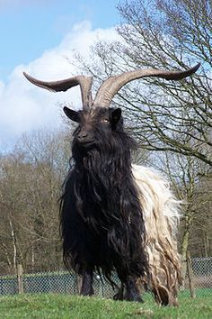 The Valais Blackneck goat breed from southern Switzerland is utilized for the production of meat and milk. It is characterized by black forequarters and white hindquarters and long hair. ~Wikipedia