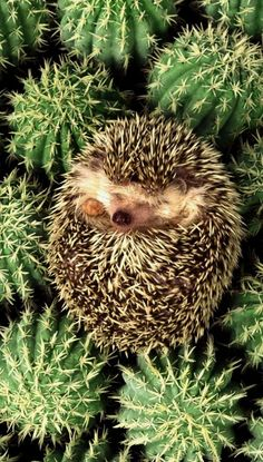 Facts About Hedgehog Pet Baby Animals Super Cute, Cute Little Animals, Cute Funny Animals, Cute Dogs, Cute Babies, Baby Animals Pictures, Cute Animal Pictures, Animals And Pets, Hedgehog Pet