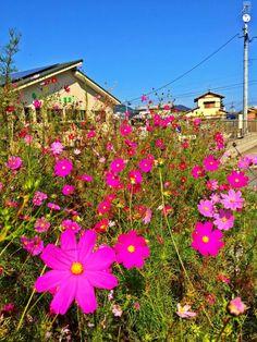 Bright purple cosmos flowers in Kyushu Cosmos Flowers, Fall Flowers, Japan Info, Japanese Nature, Kyushu, Different Seasons, Bright Purple, Love Wallpaper, Travel Around
