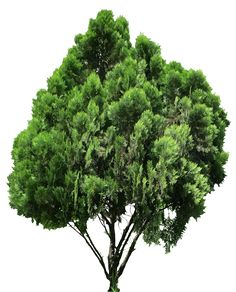 20 Free Tree PNG Images - Platycladus orientalis