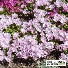 Lavender Ice' Ice Plant has large, gorgeous lavender-pink flowers and a tidy mat of evergreen foliage that turns purplish in winter. Drought resistant/drought tolerant plant (xeric). - Picmia
