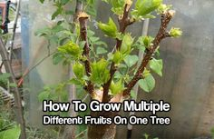 "How To Grow Multiple Different Fruits On One Tree - This is known as ""grafting"". Imagine having one tree with 2, 3 or 4 different fruits growing from it! This is great for people with smaller gardens who want to have all the same fruit as people with big gardens."