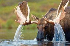 Bull Moose, just before rut. still has a little velvet left on the antlers.