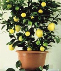 Como Cultivar Limão Siciliano em Vasos | Vaso e Cia
