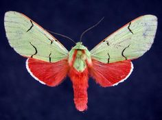 Chlorhoda thoracica is a moth of the family Arctiidae. It is found in Peru. The wingspan is about 39 mm.