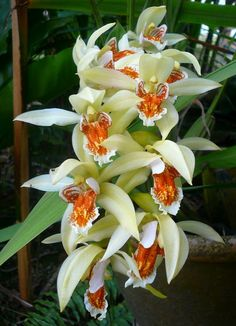 http://www.rv-orchidworks.com/orchidtalk/attachments/orchids-other-genera-bloom/54607d1339340205-coelogyne-asperata-p1220280.jpg