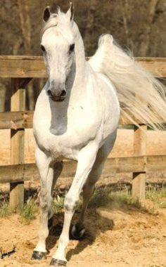 Jamil  (Madkour I x Hanan) 1943 grey SE stallion - breeder unknown