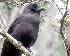 Hawaiian Crow ('Alala) - Now extinct in the wild, but hopefully a captive breeding program will successfully reestablish the population.