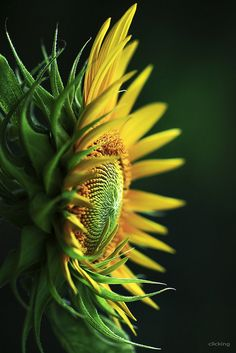shadows and color : sunflower.