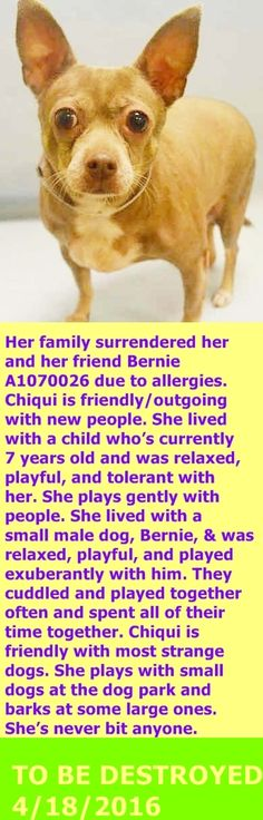 SAFE 4-19-2016 by For our Friends --- Manhattan Center   My name is CHIQUI. My Animal ID # is A1070025. I am a female blue and tan chihuahua sh. The shelter thinks I am about 5 YEARS old.  I came in the shelter as a OWNER SUR on 04/11/2016 from NY 11101, owner surrender reason stated was ALLERGIES.  http://nycdogs.urgentpodr.org/chiqui-a1070025/