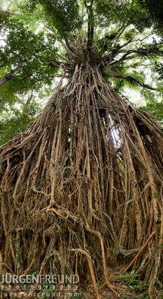 ¡Muy impresionante! - ¡Fotografía del árbol! Árbol de higo gigante en los trópicos húmedos