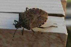 Use cedar oil to control stink bugs on tomato plants Herbal Cure, Herbal Remedies, Natural Remedies, Growing Tomatoes, Growing Vegetables, Baby Tomatoes, Cedar Oil, Tomato Plants, Tomato Garden