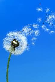 Bildergebnis für handy hintergrund pusteblume