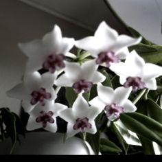 hoya = wax flower, love it!!