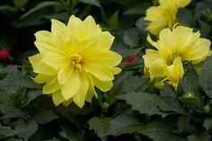 Dahlia's in Bloom!  Plant Land, Kalispell, MT