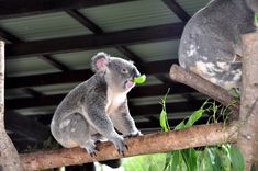 Koala at Australia Zoo.