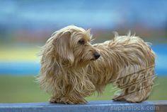 I heart wired hair dachshunds!