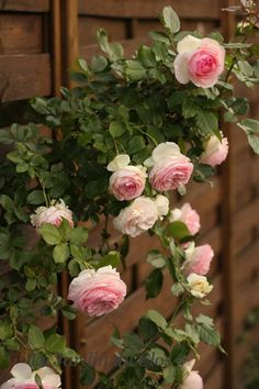 Le Jardin du Clos: Rosier Pierre de Ronsard – are these the ones? Beautiful Roses, Beautiful Gardens, Pink Flowers, Beautiful Flowers, Garden Care, Garden Pond, Rose Garden Design, Flower Landscape, Rose Cottage