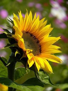 First Time Gardener Sunflower Sunflower Garden, Sunflower Art, Yellow Sunflower, Yellow Flowers, Happy Flowers, Flowers Nature, Pretty Flowers, Sun Flowers, Sunflowers And Daisies