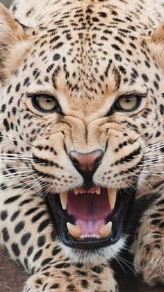 Fierce Shouting Panthera Pardus Macro Face