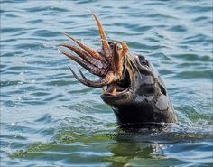 PsBattle: A sea lion eating an octopus Amazing Animal Pictures, Cool Pictures, Animal Pics, Animals And Pets, Cute Animals, Nature Animals, Strange Animals, Wild Animals, Mundo Animal