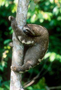 Three-toed sloth. By Michael Turco