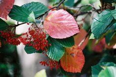 ハクサンボクの赤い実と紅葉/癒し憩い画像データベース