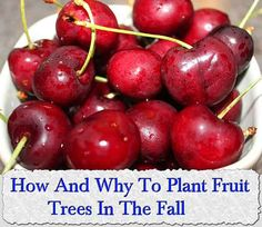 How And Why To Plant Fruit Trees In The Fall #organicgardening #fruittrees #autumn #fallplanting