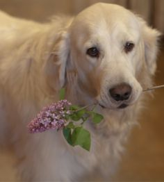 I brought you a flower mom ! #golden