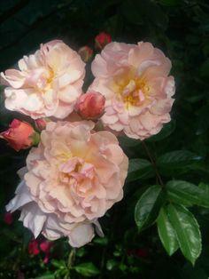 """Cornelia "" ( Hibryd Musk rose - Pemberton GB  1925 )"