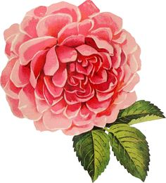 Free vintage cabbage rose graphic. Gorgeous! That's all that can be said about this free vintage cabbage rose graphic. It's in .png format with a transparent ba
