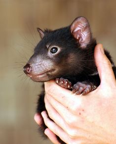 A Tasmanian Devil Juvenile or Joey